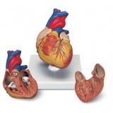 Сердце и кровообращение
